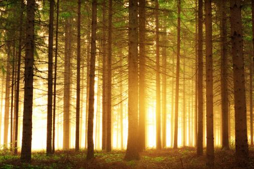 Wilderness Area「Sunrise In The Forest」:スマホ壁紙(6)