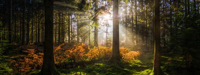 Ecosystem「Sunrise in idyllic forest clearing golden ray illuminating woodland panorama」:スマホ壁紙(13)