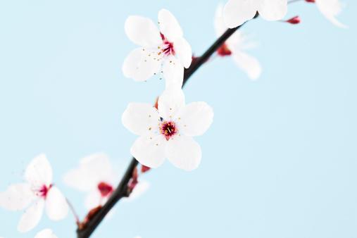 梅の花「シングルの桜の小枝を飾ります。」:スマホ壁紙(11)