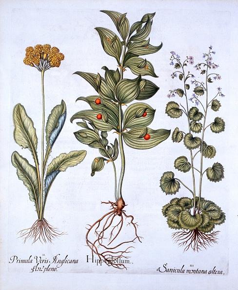 Basil「Hippoglossum」:写真・画像(9)[壁紙.com]