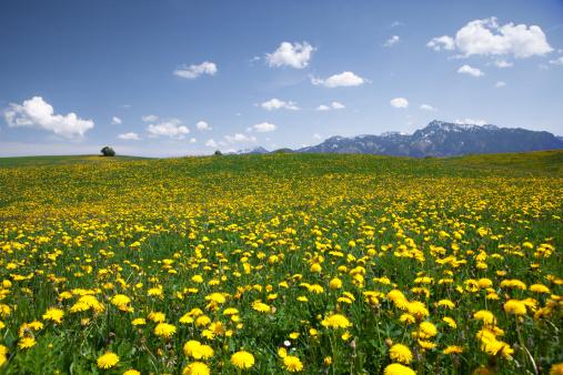 たんぽぽ「bavarian dandelion meadows」:スマホ壁紙(8)