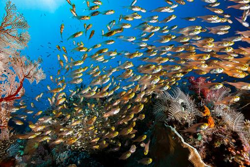 Soft Coral「Large School of Swallowtail Cardinalfish Verulux cypselurus, Komodo National Park, Indonesia」:スマホ壁紙(7)
