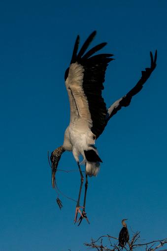 Landing - Touching Down「Wood Stork nesting」:スマホ壁紙(7)