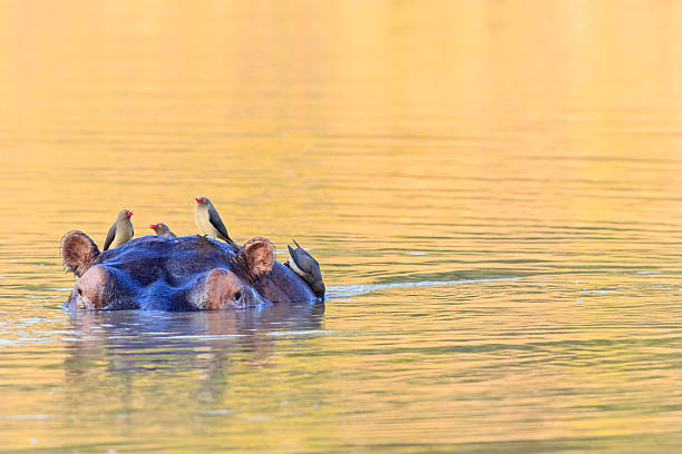 Zimbabwe, Urungwe District, Mana Pools National Park, swimming hippopotamus with oxpeckers:スマホ壁紙(壁紙.com)