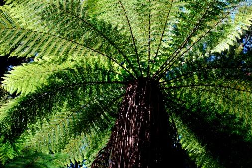 New Zealand Culture「Punga Tree Fern Canopy, New Zealand」:スマホ壁紙(15)