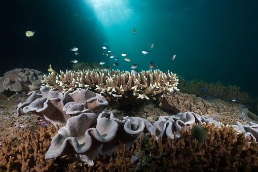 Arafura Sea「Mushroom Soft Coral in Reef, Indonesia」:スマホ壁紙(13)