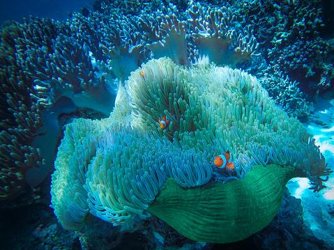 Clownfish「Clownfish on coral reef, Bali, Indonesia」:スマホ壁紙(9)