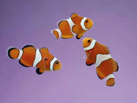 Clownfish「Clownfish on purple background」:スマホ壁紙(17)