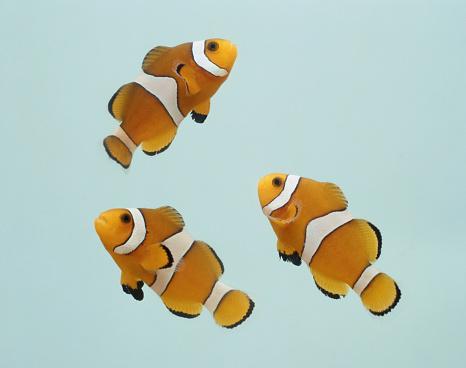 Clownfish「Clownfish on gray background」:スマホ壁紙(15)