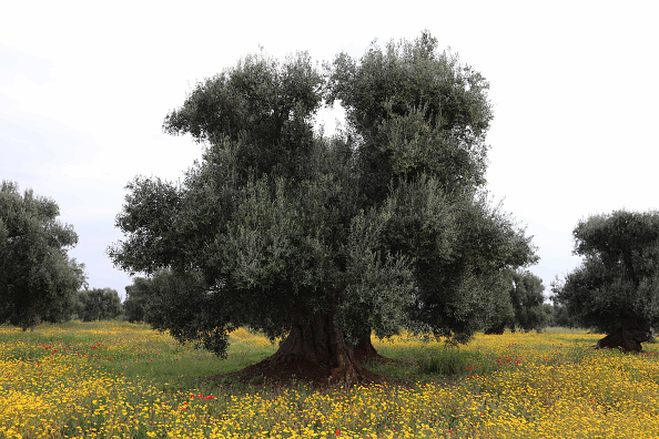 Tree「Italy's Olive Oil Production Hits 25-Year Low」:写真・画像(11)[壁紙.com]