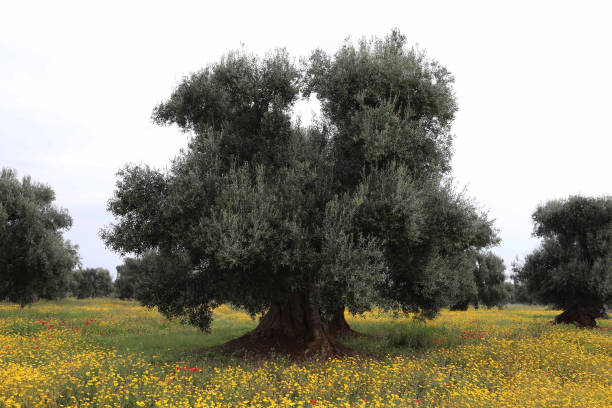 Italy's Olive Oil Production Hits 25-Year Low:ニュース(壁紙.com)