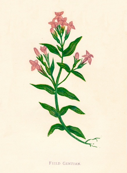 葉・植物「Field Gentian, c1891, (1891)」:写真・画像(6)[壁紙.com]