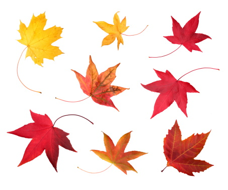 Autumn Leaf Color「Full-size photo of maple autumn- 83Mpx.」:スマホ壁紙(12)