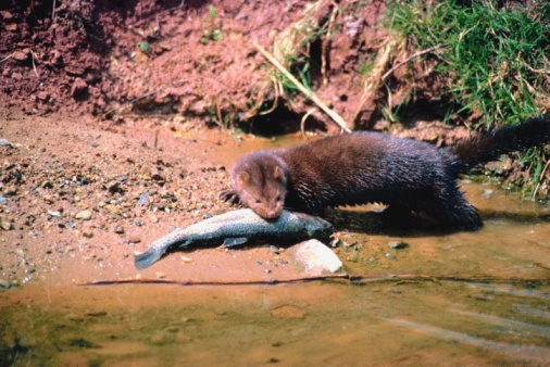 Animals Hunting「Mink eating fish on riverside」:スマホ壁紙(16)