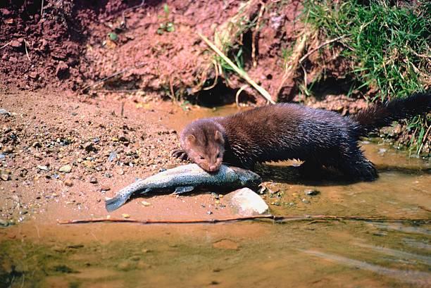 Mink eating fish on riverside:スマホ壁紙(壁紙.com)