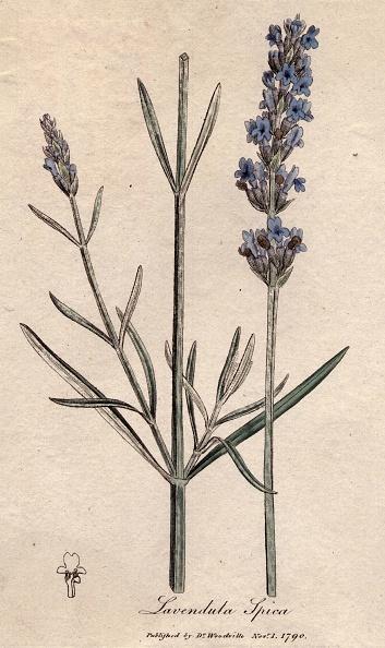 Herb「Spiked Lavender」:写真・画像(8)[壁紙.com]