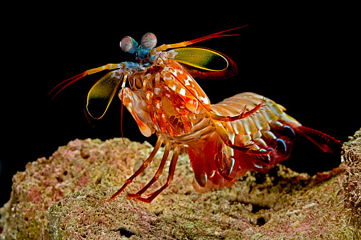 Harlequin「Odontodactylus scyllarus (peacock mantis shrimp, harlequin mantis shrimp, painted mantis shrimp, clown mantis shrimp)」:スマホ壁紙(4)