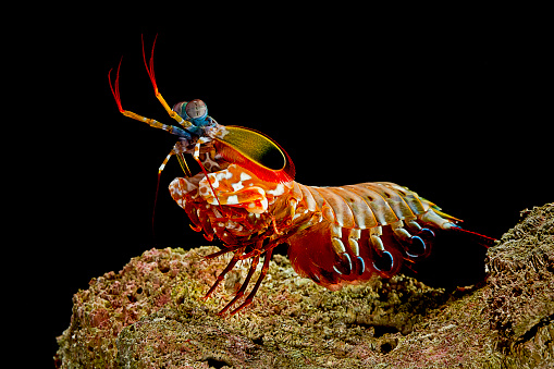 Harlequin「Odontodactylus scyllarus (peacock mantis shrimp, harlequin mantis shrimp, painted mantis shrimp, clown mantis shrimp)」:スマホ壁紙(8)