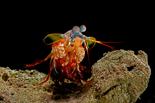 Harlequin「Odontodactylus scyllarus (peacock mantis shrimp, harlequin mantis shrimp, painted mantis shrimp, clown mantis shrimp)」:スマホ壁紙(11)