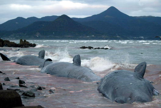 Whale「Beached Whales Washed Ashore in Japan」:写真・画像(17)[壁紙.com]