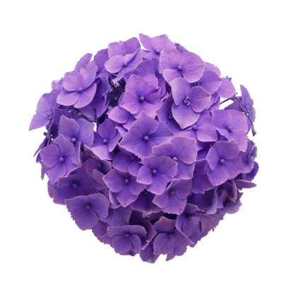 あじさい「Hydrangea Ball Close-up」:スマホ壁紙(0)
