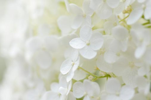 Hydrangea「Hydrangea Background」:スマホ壁紙(17)