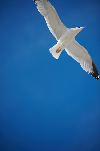 Herring Gull「Seagull flight on blue sky.」:スマホ壁紙(6)