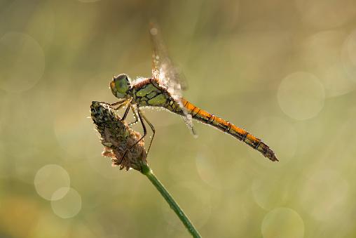 とんぼ「Common darter firefly, Sympetrum striolatum, hovering over flower」:スマホ壁紙(6)
