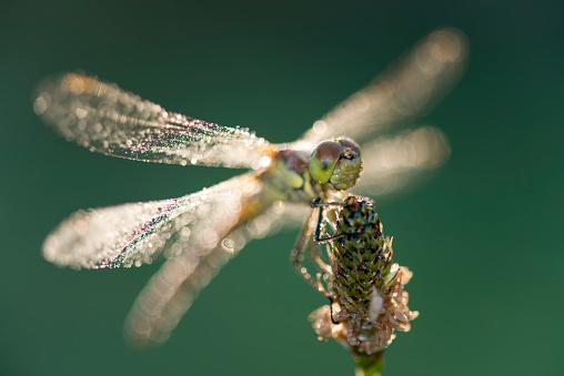 とんぼ「Common darter firefly, Sympetrum striolatum, hovering over flower」:スマホ壁紙(5)