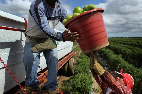 Agriculture「Florida's January Freeze Threatens Tomato Supply For East Coast」:写真・画像(7)[壁紙.com]