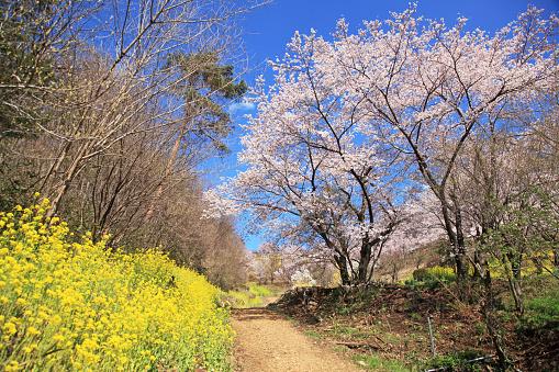 Clear Sky「Hanamiyama Park in full bloom, Fukushima, Japan」:スマホ壁紙(1)