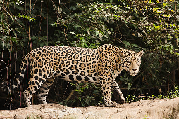 A female jaguar hunting in the early morning.:スマホ壁紙(壁紙.com)