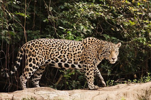Animals Hunting「A female jaguar hunting in the early morning.」:スマホ壁紙(4)