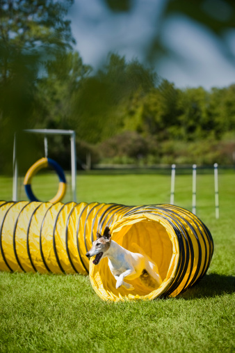 Dog Agility「Fox terrier turning out of agility tunnel」:スマホ壁紙(10)