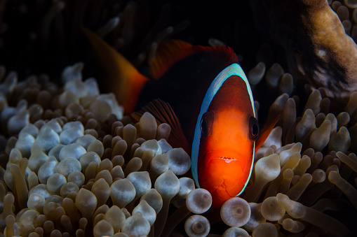Eyesight「A red and black anemonefish sunggles into the tentacles of its host anemone.」:スマホ壁紙(0)