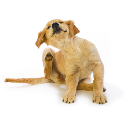Displeased「Golden Retriever Puppy Scratching fleas on white background」:スマホ壁紙(16)