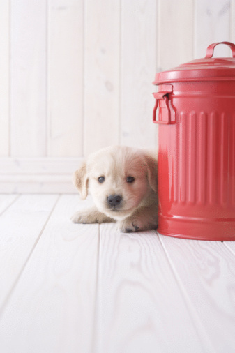 かわいい「Golden retriever peeking behind a bucket」:スマホ壁紙(7)
