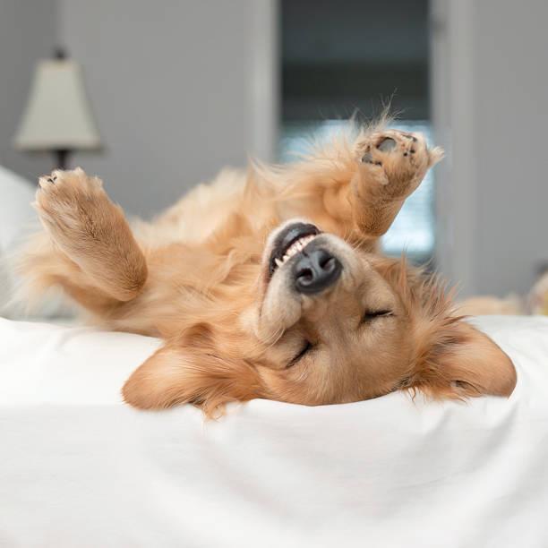 Golden retriever dog rolling around on a bed:スマホ壁紙(壁紙.com)