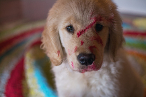 Mischief「Golden retriever puppy dog covered with lipstick」:スマホ壁紙(9)