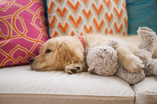 Baby animal「Golden retriever puppy dog lying on sofa with teddy bear」:スマホ壁紙(16)