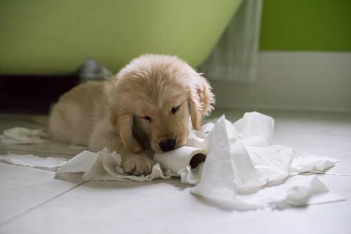 Mischief「Golden retriever puppy dog playing with toilet roll in bathroom」:スマホ壁紙(16)