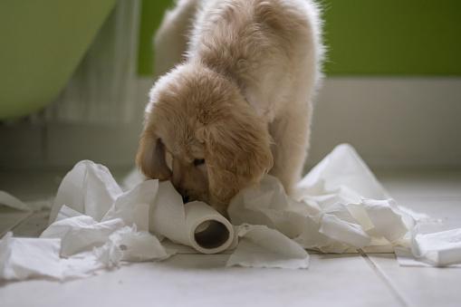 Mischief「Golden retriever Puppy dog playing with toilet roll in bathroom」:スマホ壁紙(17)