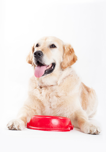 Eating「Golden Retriever and dog food」:スマホ壁紙(18)