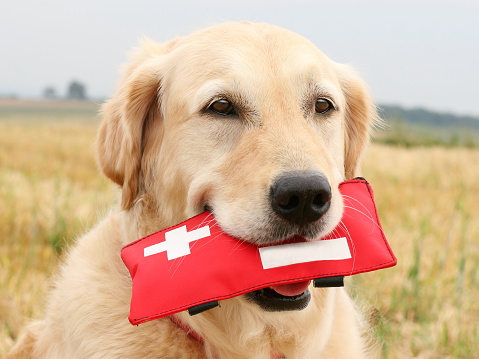 A Helping Hand「Golden Retriever with First-Aid-Kit」:スマホ壁紙(0)