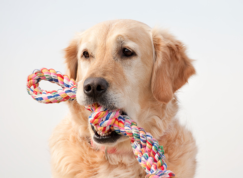 Waiting「Golden retriever with colorful toy in mouth」:スマホ壁紙(3)