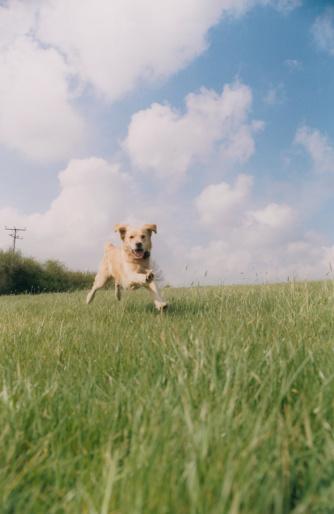 Approaching「Golden Retriever Running」:スマホ壁紙(6)