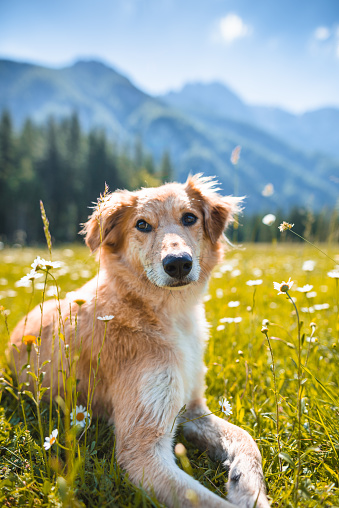 European Alps「golden retriever portrait on the meadow」:スマホ壁紙(9)