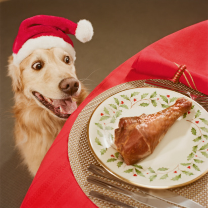 Santa Hat「Golden retriever looking at chicken leg on dining table, close-up, high angle view」:スマホ壁紙(2)