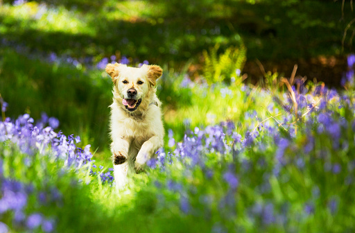 Wildflower「A Golden Retriever dog running through Bluebells in Jiffy Knotts wood near Ambleside, Lake District, UK.」:スマホ壁紙(18)
