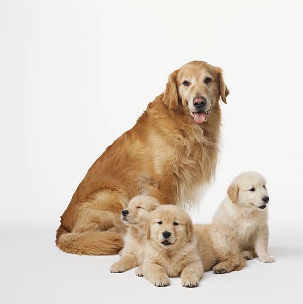 Golden retriever adult with puppies:スマホ壁紙(壁紙.com)
